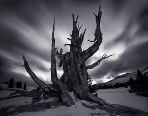 Bristlecone Pine, la specie più antica sulla terra