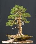 spruce12